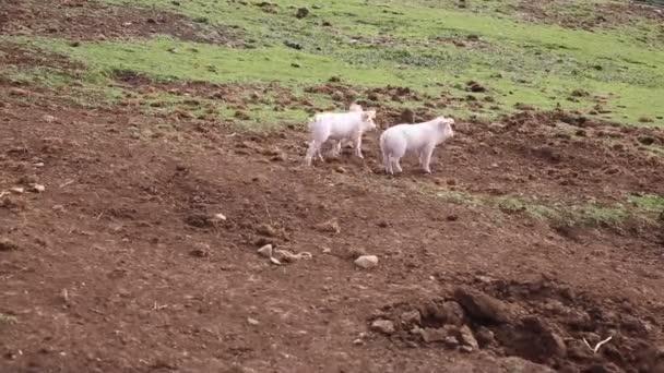 Anya koca a vidéki gazdaság területén fut két malacok
