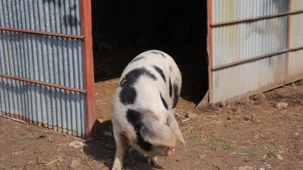 Spotted sow female pig Pietrain breed looking to camera inquisitive and questioning