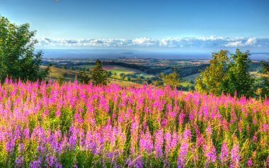 Pink flowers uk countryside Quantock Hills Somerset towards Hinkley Point Nuclear Power station and Bristol Channel on a summer evening from Cothelstone hill