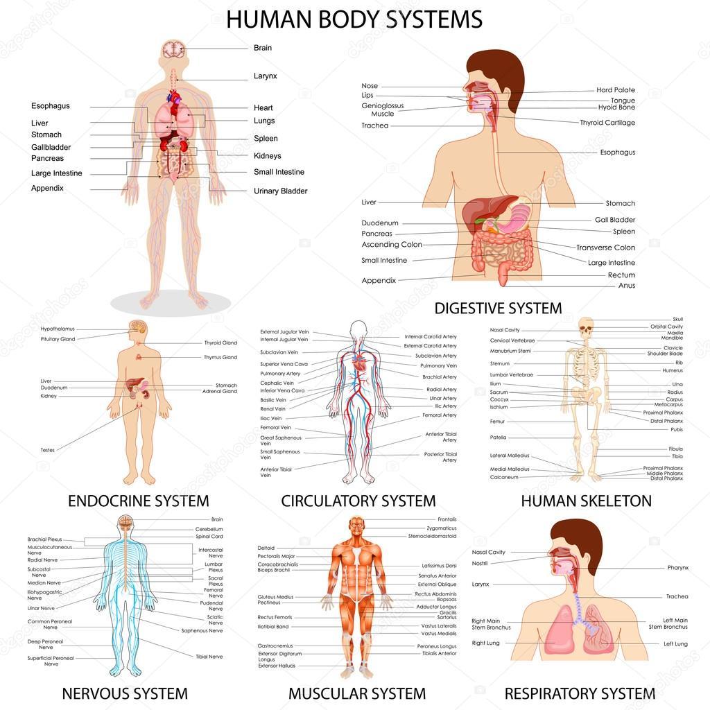 Diagramm der verschiedenen menschlichen Organsystem — Stockvektor ...
