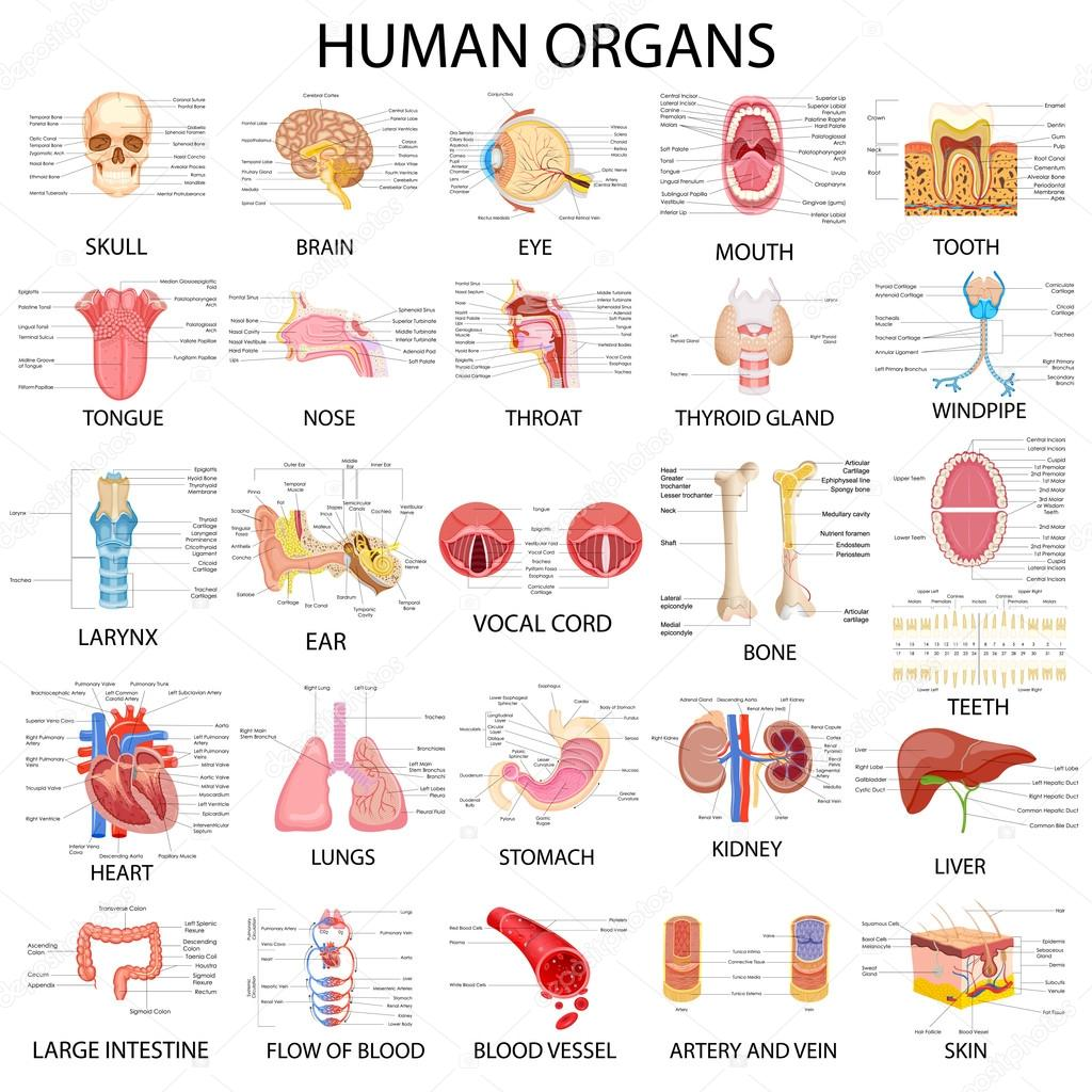 Chart of different Human Organs — Stock Vector © stockshoppe #109068184