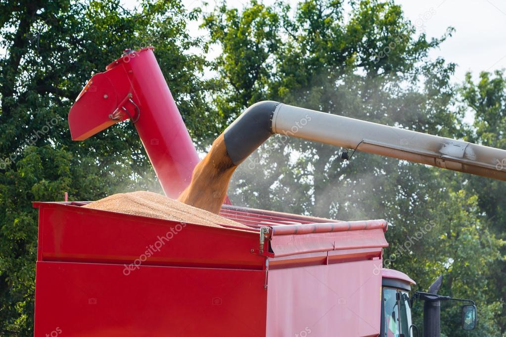 Wheat grains filling a trailor