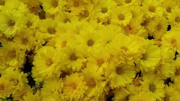 Detailní pohled na žlutý květ se zelenými listy pohybujícími se na čerstvém vzduchu během jarního období. 4K video čerstvých květin.