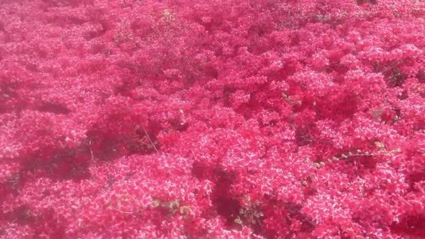 4K video červených květů s červenými okvětními lístky pohybující se na čerstvém vzduchu během podzimní sezóny