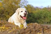 die schöne gelbe Labrador im Park im Herbst