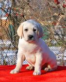 gelbes glücklich Labrador Welpen im Garten-Porträt