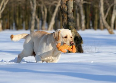 yellow labrador in winter with a toy