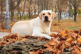 žlutý labrador v parku na podzim