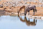 Fotografie Oryx und Springböcke auf das Wasserbecken im Etosha Park, Namibia