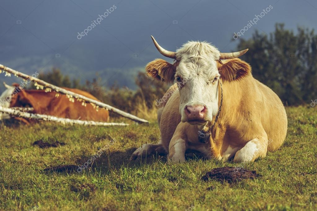 Cow and cow manure