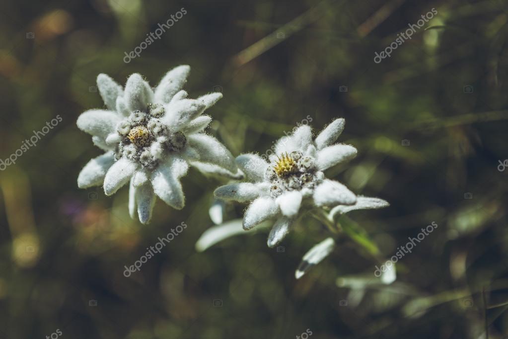 Цветы edelweiss