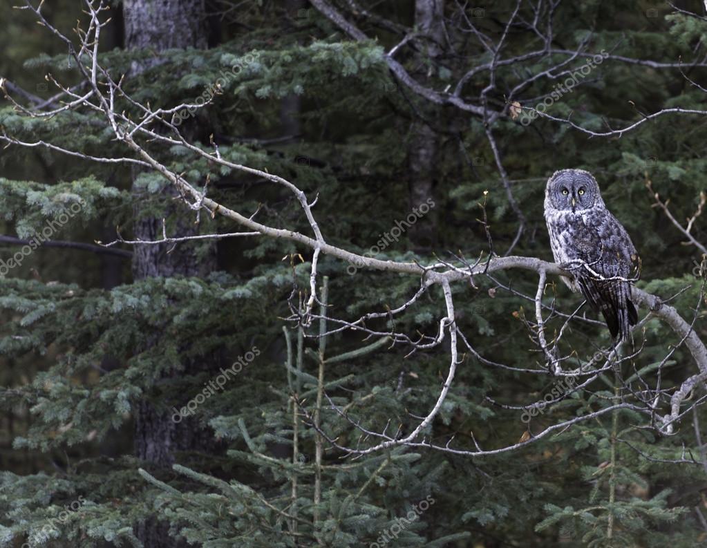 Barred Owl in the Wild  Columbia, Canada