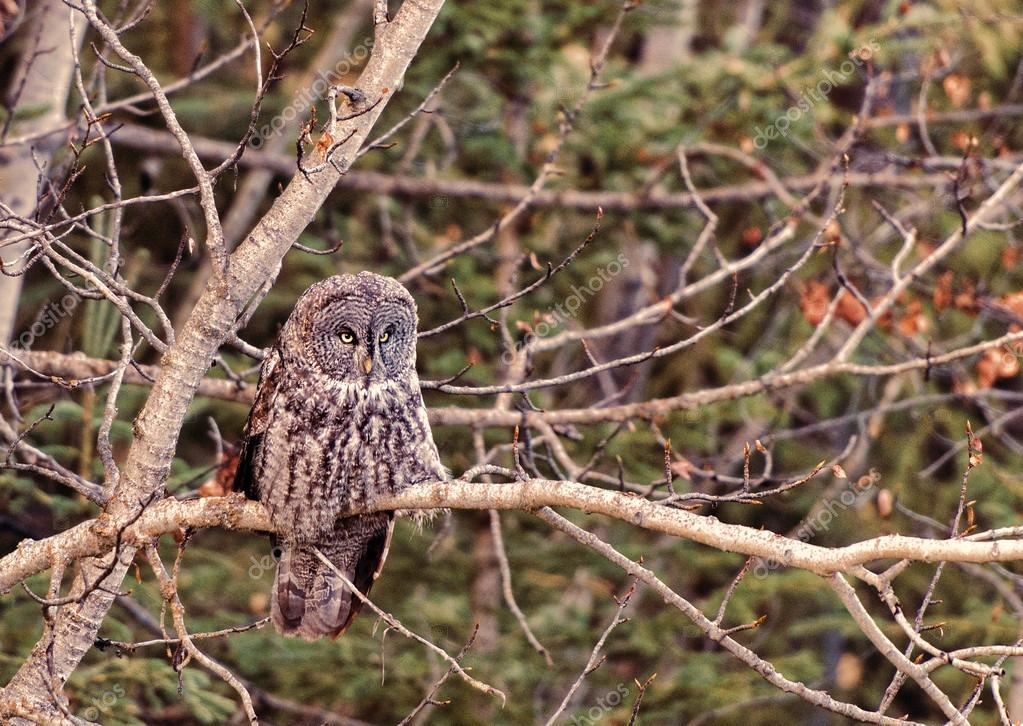 Barred Owl in the Wild  Columbia, Canada