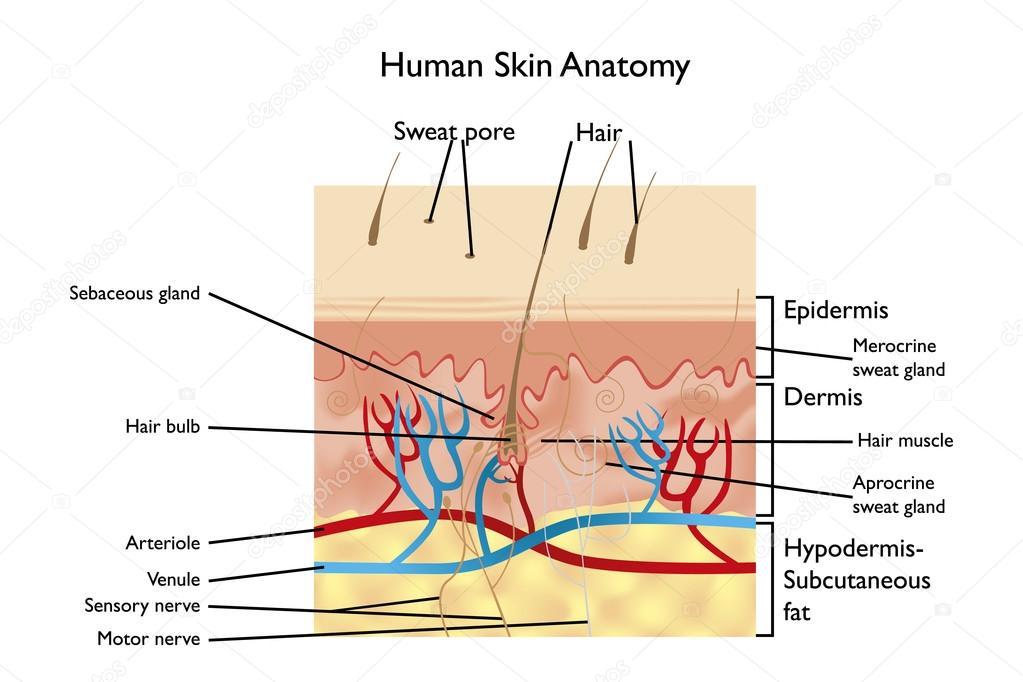 Anatomie der menschlichen Haut — Stockvektor © vivelafrance #101795552