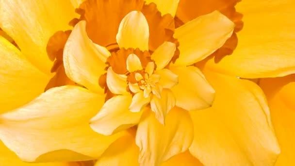 Droste květ narcisu