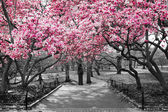Fotografie New York City - Pink Blossoms in Black and White
