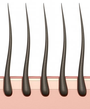 Hair Roots Cross Section