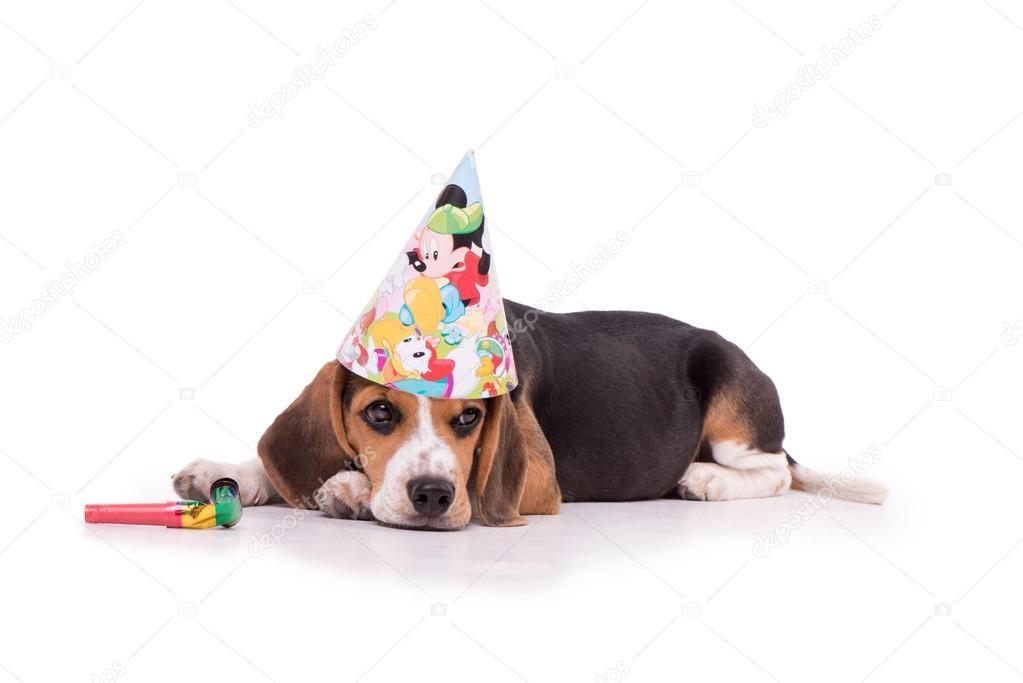 Гифки, картинка с днем рождения бигль
