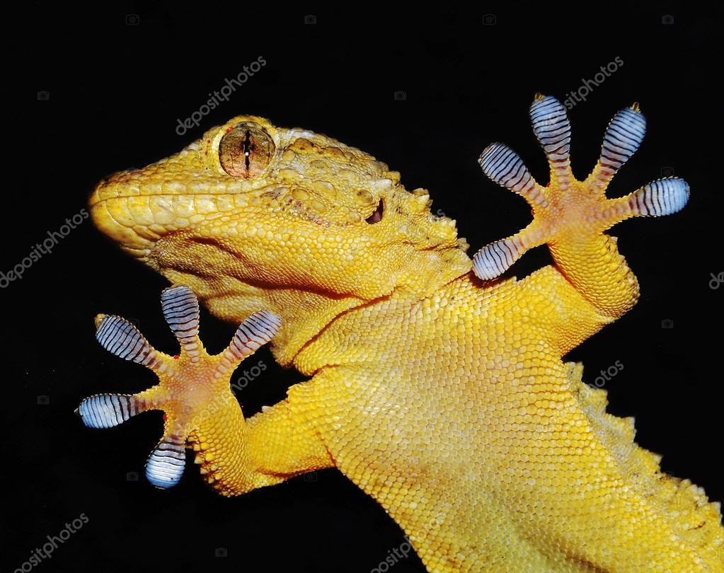 portrait of gecko