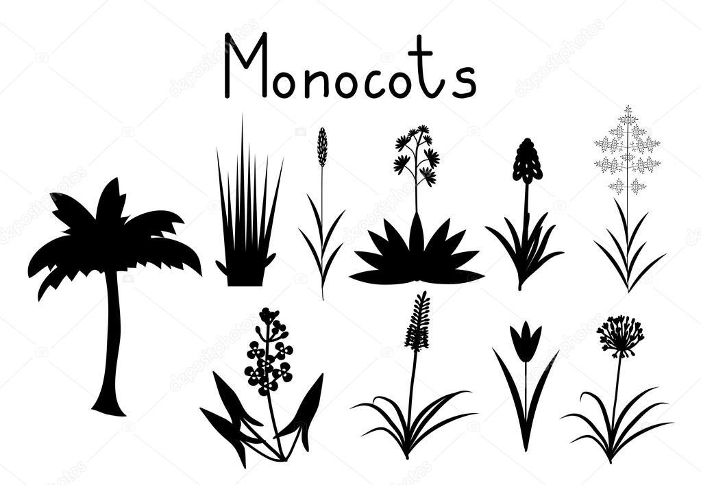 beispiele fr monokotyledonen pflanzen sammlung vektor von elyomys - Einkeimblattrige Pflanzen Beispiele