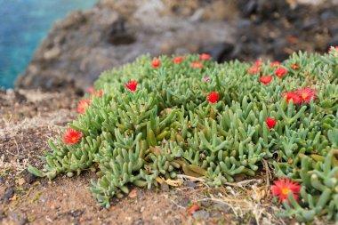 Beautiful Tenerife flora - red flowers