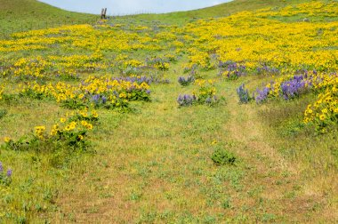 Wildflower meadow with lupines