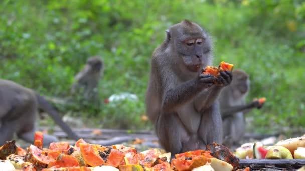 A majmok szelektív fókuszcsoportja helyi lakos által Penangban (Malajzia) fogyasztott gyümölcspapaya-takarmányt eszik..