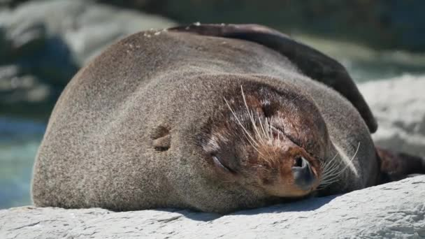 Fur seal sleep on rock during morning at Kaikoura Beach, South Island, New Zealand.