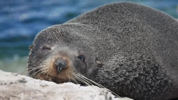 Tulení tuleň otevřené oko na chvíli během spánku v blízkosti Kaikoura, Jižní ostrov, Nový Zéland.