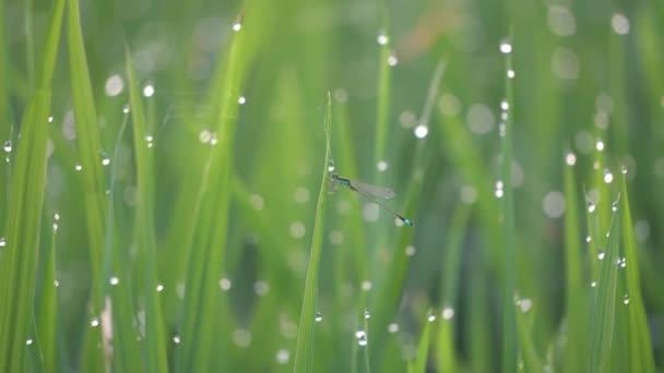 Légylégy légy repül a rizsföldön a vízcseppek reggel.