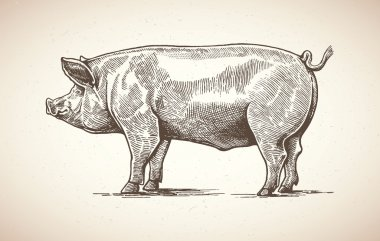 Pig in graphic style
