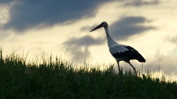 Čáp je chůze na trávě na západ slunce pozadí