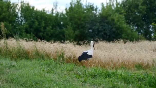 Čáp je chůze na trávě