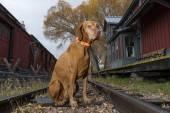 Fényképek kutya ül a vasúti sínek