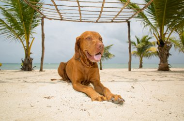 golden dog laying on beach