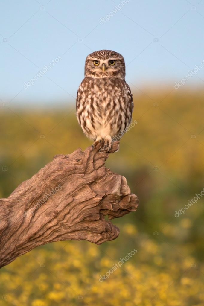 Small owl in nature