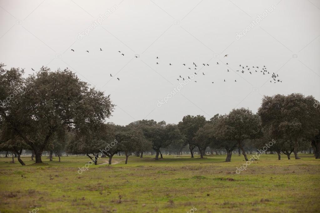 field with cranes flying