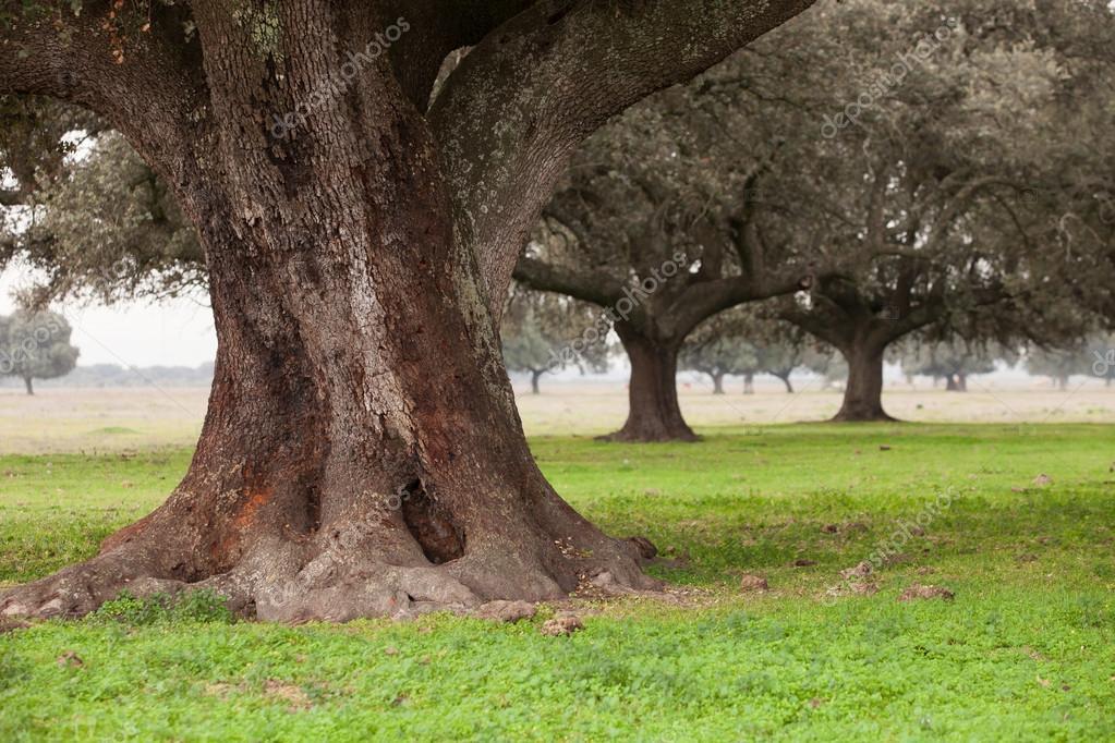 Oak holms, ilex in a mediterranean forest. Landscape in Extremadura center of Spain stock vector