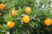 Nice tree with many oranges,
