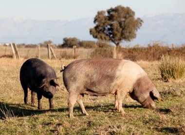 Iberian pig in the field of Spain.