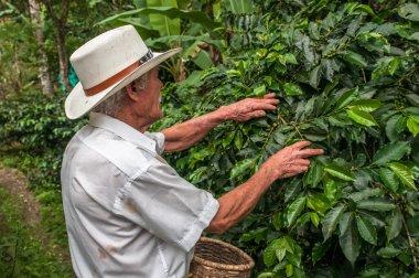 Old farmer harvesting coffee beans