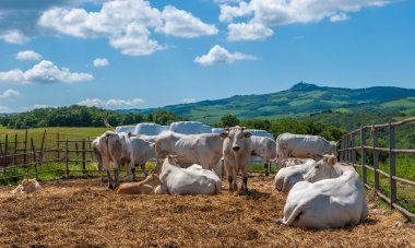 Chianina cows in Tuscany