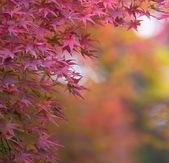 Fotografie červený javor listy