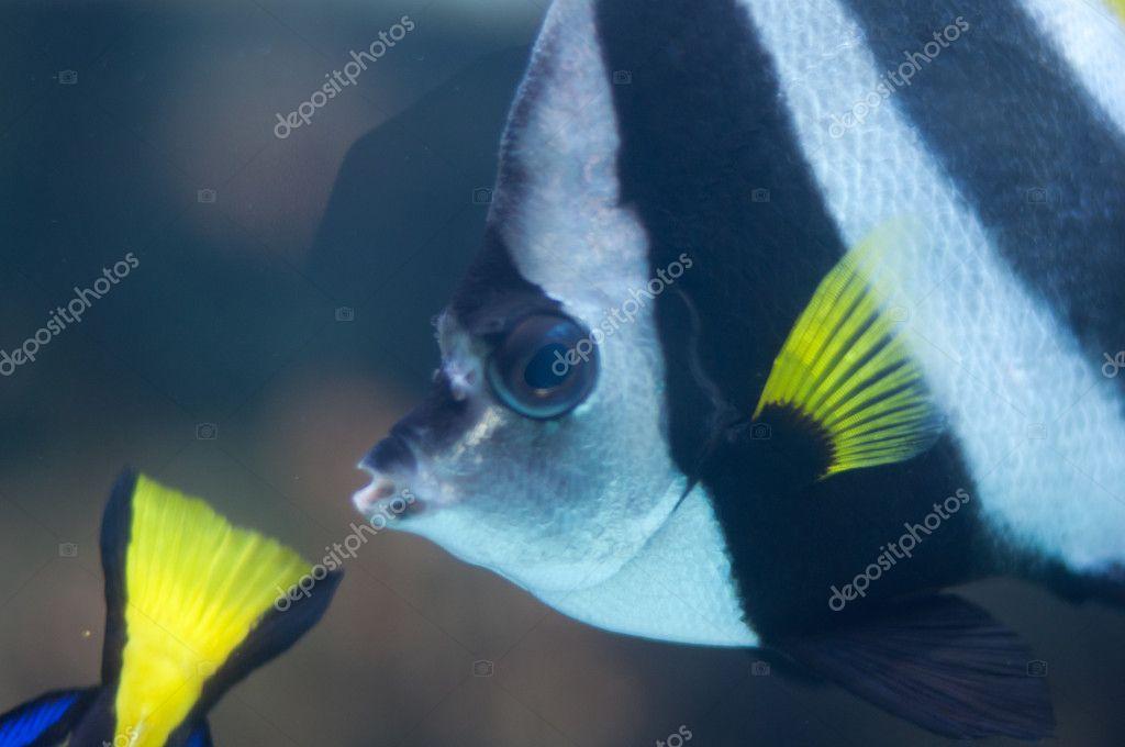 Close shoot of Longfin pennantfish, Heniochus acuminatus