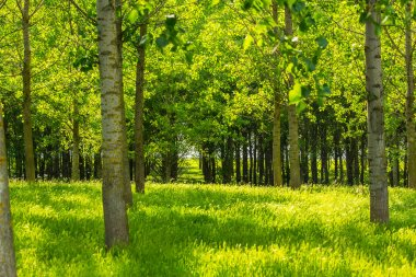 Poplar trees and white pollen in a forest in spring