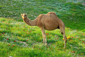 Photo beautiful wild camel on grass