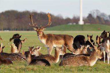 A herd of deer in the Phoenix Park in Dublin, Ireland