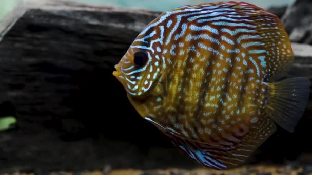 Közelről kilátás nyílik a gyönyörű tigris török disszidál akvárium hal. Hobbi koncepció.