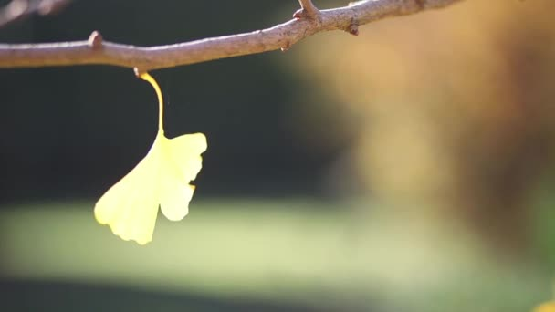 The yellow leaf of the Maiden Hair Tree moves in a light breeze on the branch