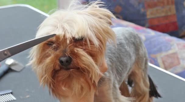 Corte De Cabello En La Cabeza Del Yorkshire Terrier